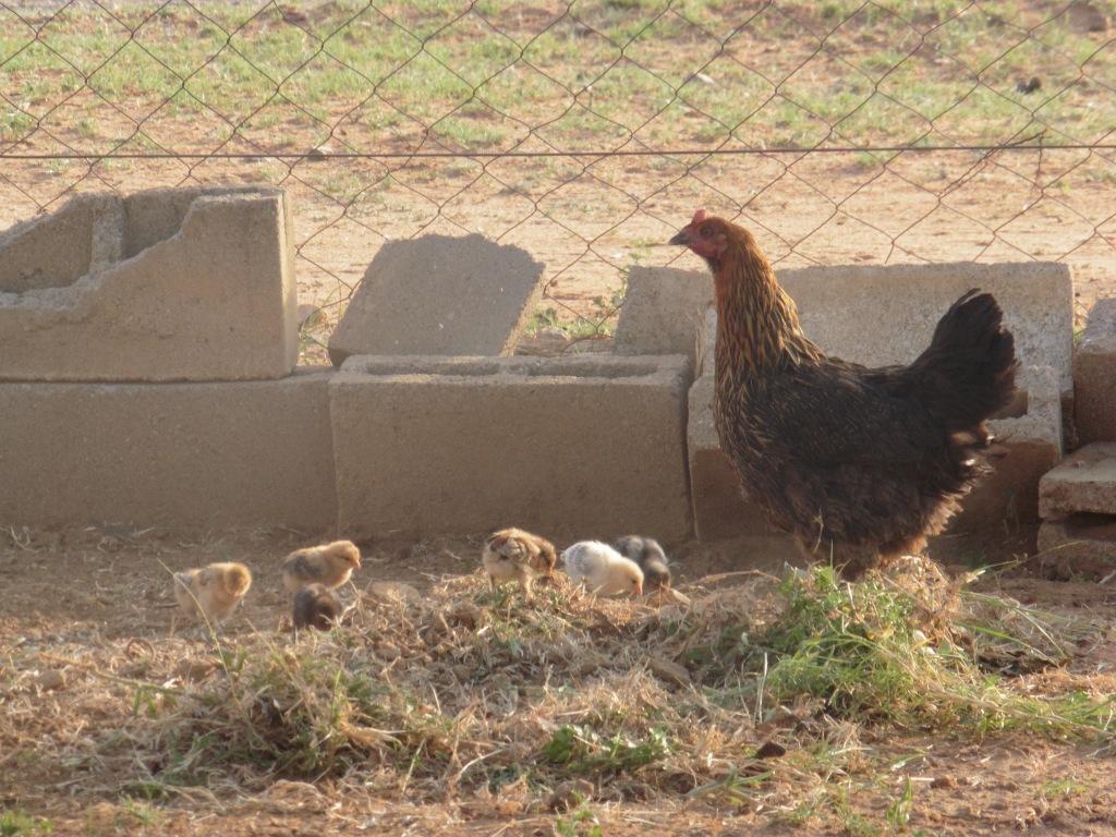 mom and 6 chicks