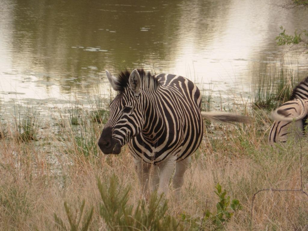 zebra at chalet