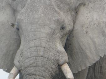 elephant closeup (1)