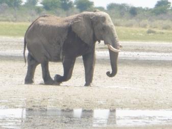 elephant crossing water (4)