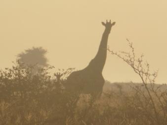 giraffe sepia