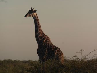 giraffes (2)