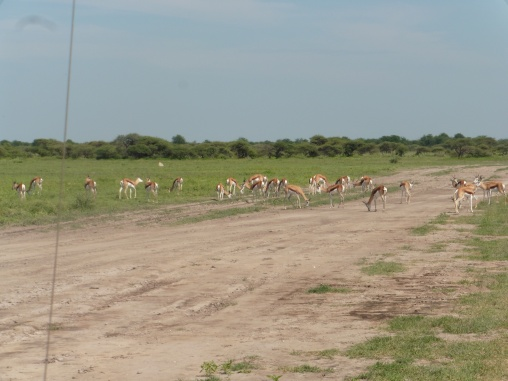 herd of oryx.