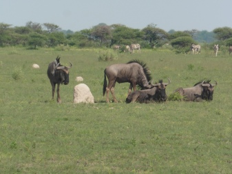 implausability of wildebeests or gnus