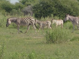 zeal of zebras (5)