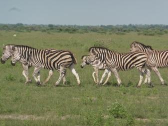 zeal of zebras (9)
