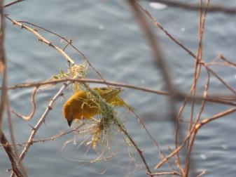 bird golden weaver nest building 2
