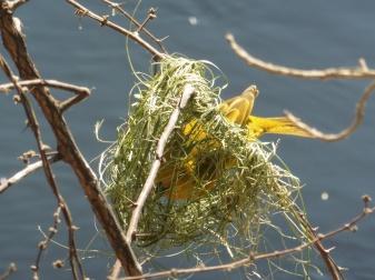 bird golden weaver nest done