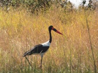 Sadlebilled stork