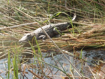 croc baby 2