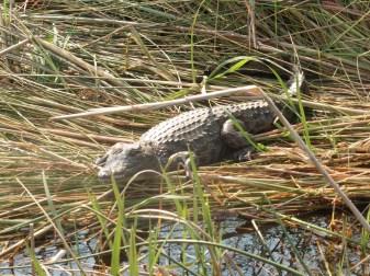 croc baby 3