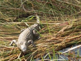 croc baby