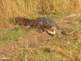 croc mouth open
