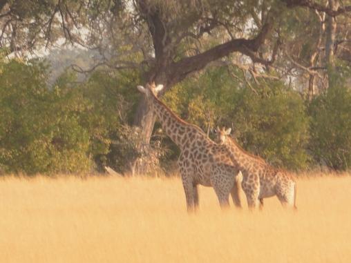 giraffe mom and baby (2)