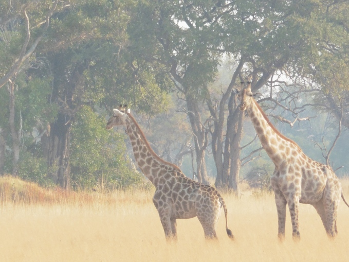 giraffes 2 (2)
