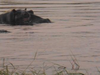 hippo closeup 2 (1)
