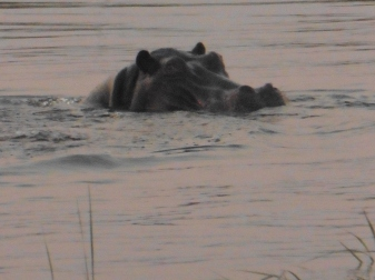 hippo closeup 3