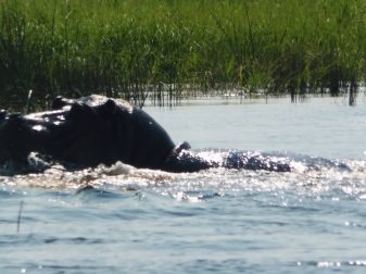 hippo coming for us