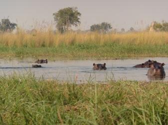 hippo family (2)