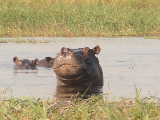 hippo half out of water (1)