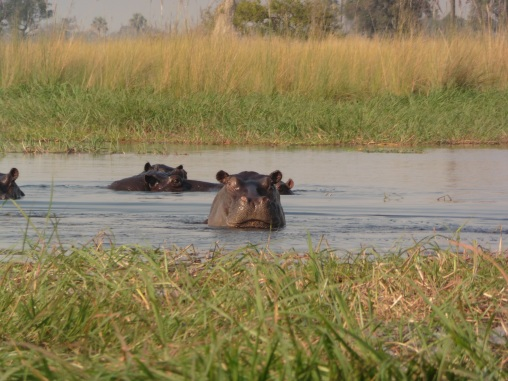 hippo half out of water