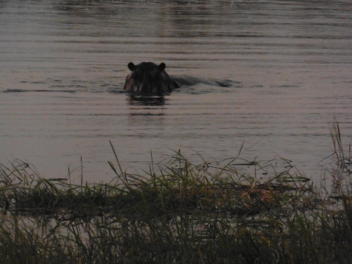 hippo on the move