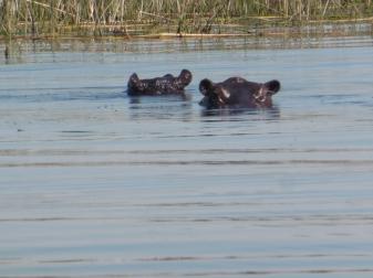 hippos (2)
