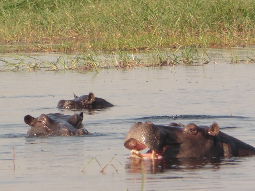 hippos partially open mouth