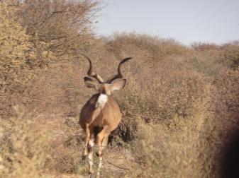 kudu leaving