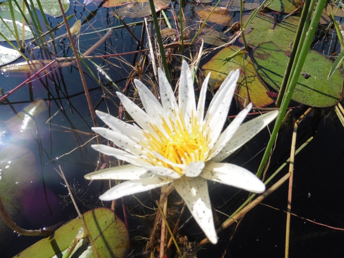 mokoro blooming water lily