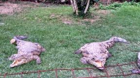 croc-dental-twins