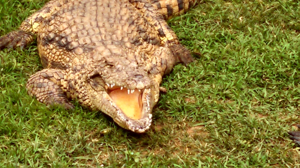 croc-dental-very-close-up