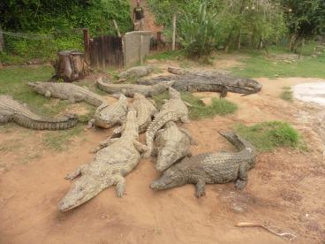 croc-feeding-time-3