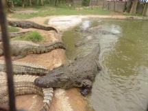 croc-feeding-time