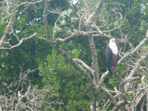 Fish Eagle on Lake St Lucia