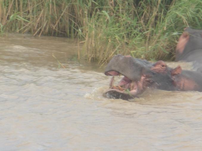 hippo-dental