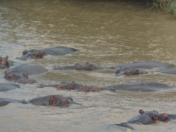 hippo-family-lounging