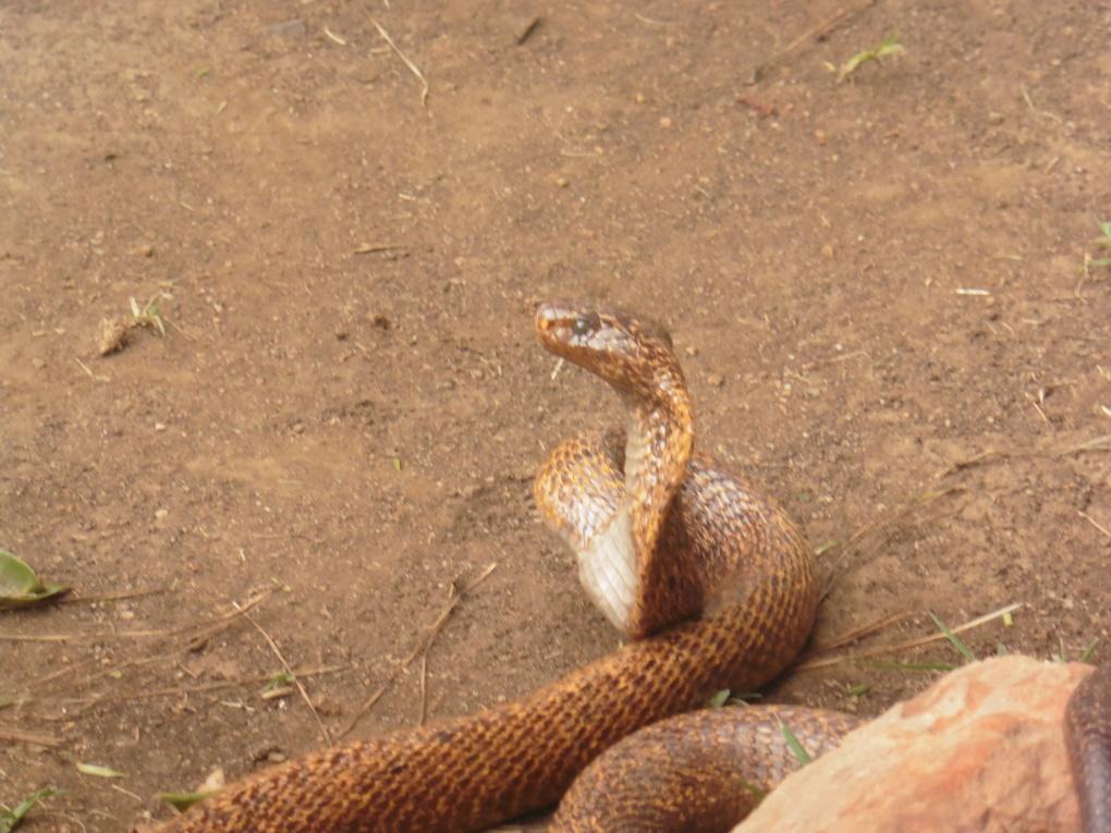 mozambique-spitting-cobra-hood-up