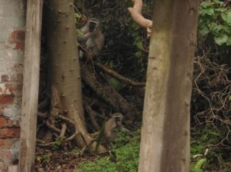 stainbank-reserve-vervet-monkeys