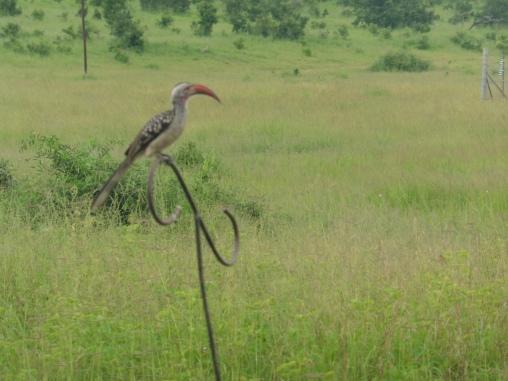 hornbill senyati