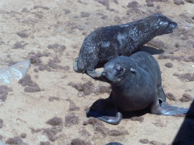 5 Cape Cross Seal Reserve babies