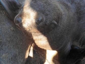 5 Cape Cross Seal Reserve baby closeup