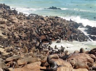 5 Cape Cross Seal Reserve en masse 3