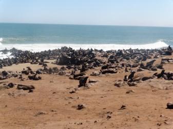 5 Cape Cross Seal Reserve en masse