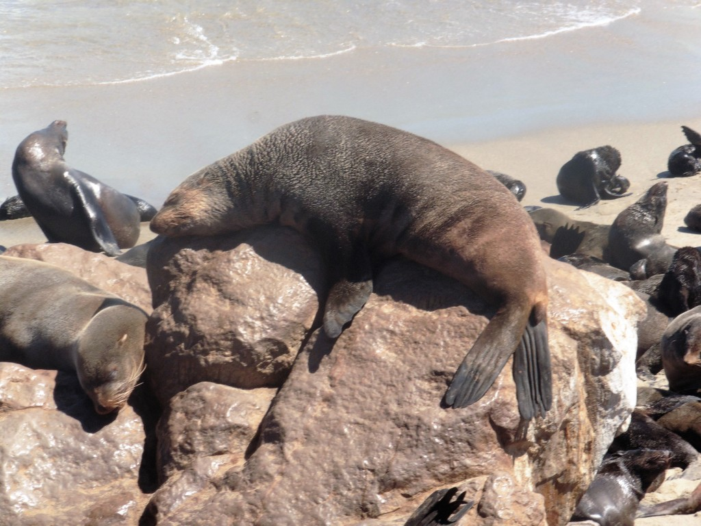 5 Cape Cross Seal Reserve hanging out