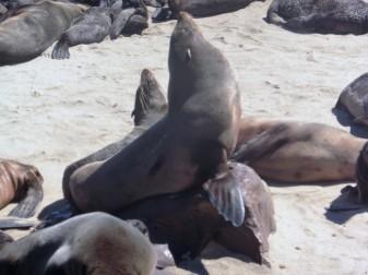 5 Cape Cross Seal Reserve nursery