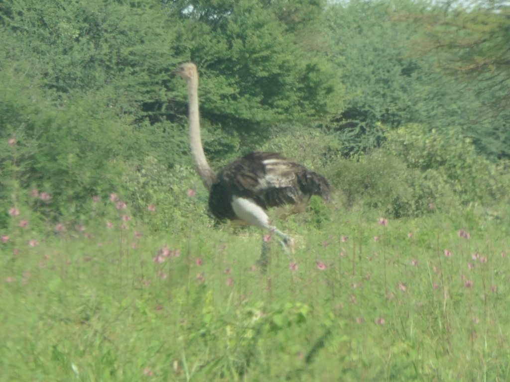 ostrich ghanzi kang